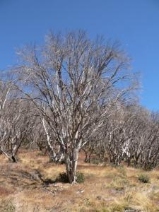 Dead (burnt) trees. - P1080527.jpg
