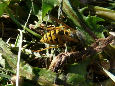 European Wasp. - P1020019crp.jpg