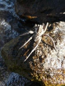 Wolf Spider. - P1020024.JPG
