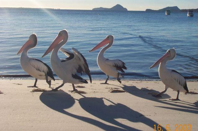 Morning stroll - 4_pelicans.jpg