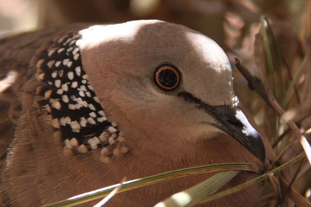 Bar Shouldered Dove - IMG_0484crp.jpg