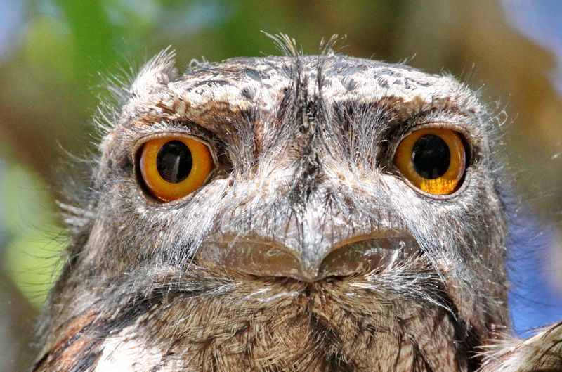 Frogmouth - IMG_0841c   a r.jpg