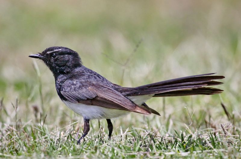 Willy Wagtail - IMG_1680c  a  r.jpg