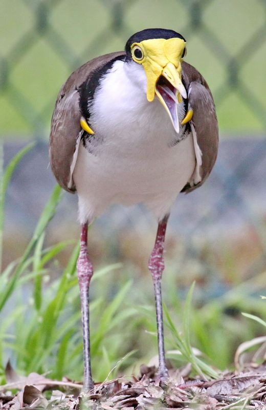 Not happy - Spur Wing Plover - IMG_6353c a r.jpg