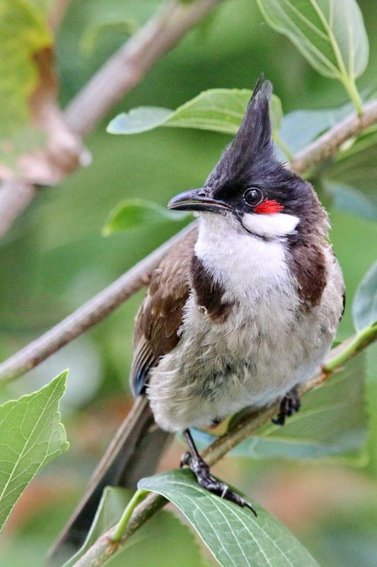 Red-Whiskered Bulbul - IMG_6989crp a r.jpg