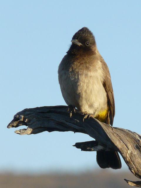 South African Bird - Img0190 crp .jpg