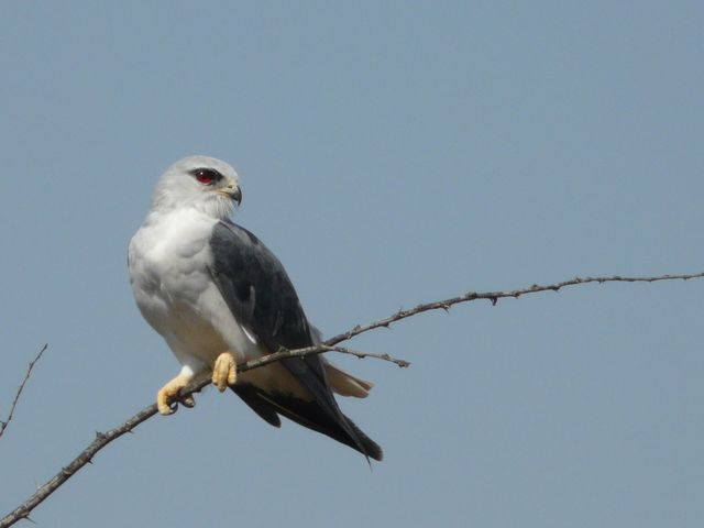 Black Shouldered Kite - Img0282 crp .jpg
