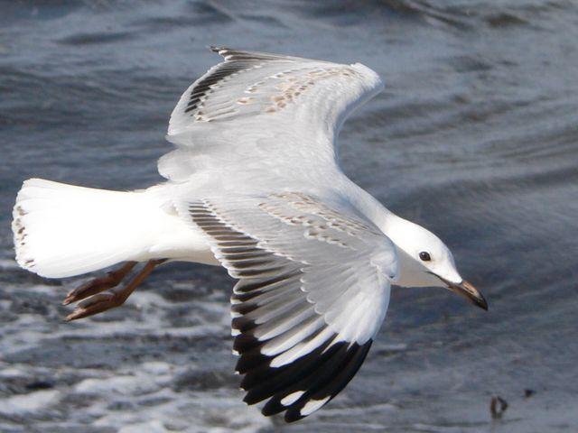 Young gull - P1070172 cr.jpg