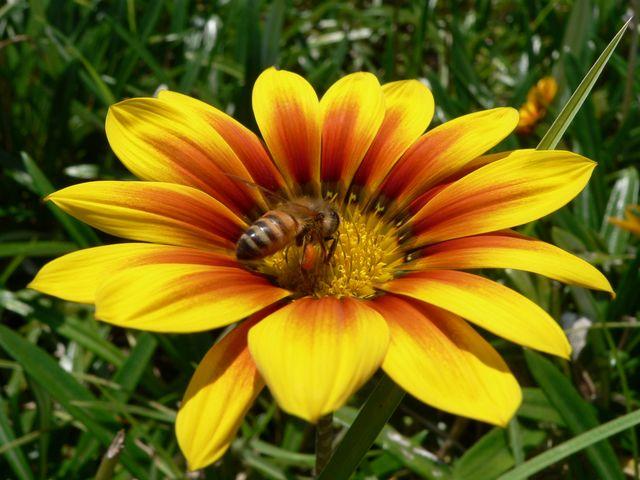 Pollinator - P1170099.JPG