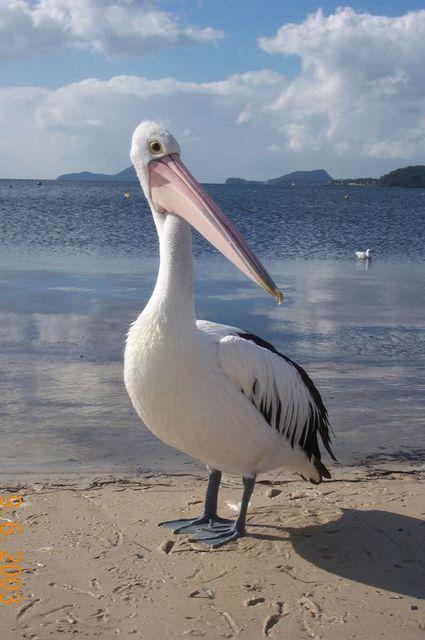 Who, me ? - Pelican_1.jpg