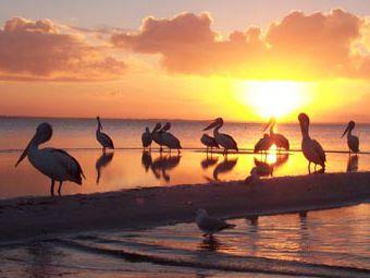 Morning Parade - Pelican preening.jpg