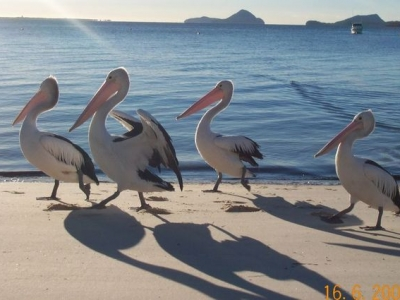 Morning stroll - 4_pelicans.jpg