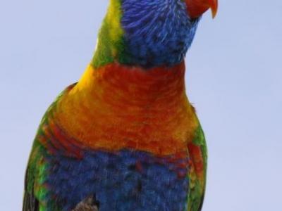 Rainbow Lorikeet - IMG_0582crp.jpg