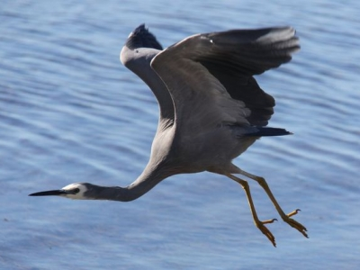White Faced Heron - IMG_2078crp.jpg