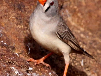 Zebra Finch at waterhole - IMG_5028ca.jpg