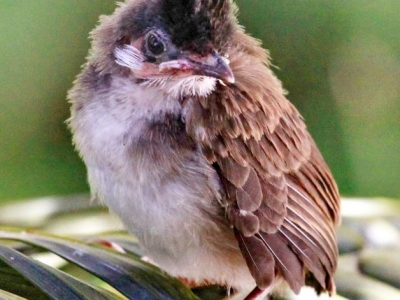 Red-Whiskered Bulbul chick - IMG_7004 for JB a.jpg