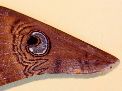Part of a moth wing - IMG_8966ca a r.JPG