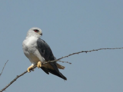 Black Shouldered Kite - Img0282 crp .jpg