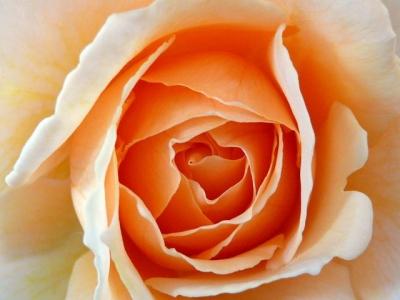 Rose - P1060580 exp crp.jpg