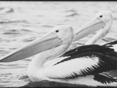 Pelican pair - Pair_of_Pelicans.jpg