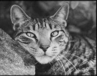 Moody Moggy - howard_lucys_cat_USA_thumb.jpg