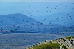 2012  Crows a  r.JPG