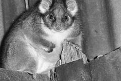 1971 The possum again - File0015  a r.jpg