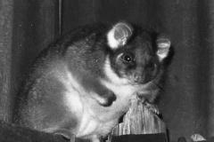 1971 Resident Possum - File0016.jpg